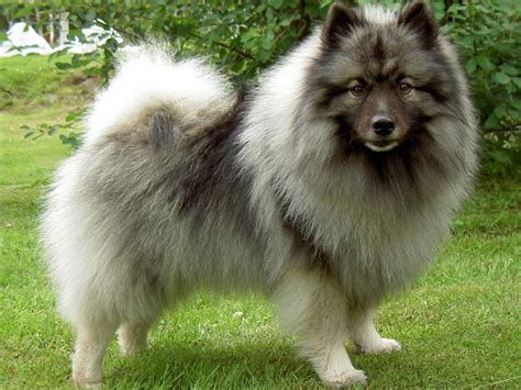 how big do pomsky puppies get grown pomsky pics breeds picture wallpaper