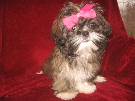 cleveland puppy for sale shih tzu puppies for sale in ohio cleveland