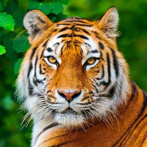 imagenes google tigres tigre pesquisa google tiger pinterest google