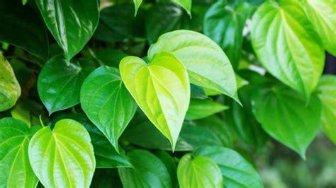 manfaat daun sirih merah  sirih hijau  kesehatan