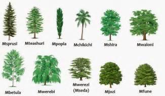 Miti types of trees mbetula birch mchikichi palm tree mfune beech tree