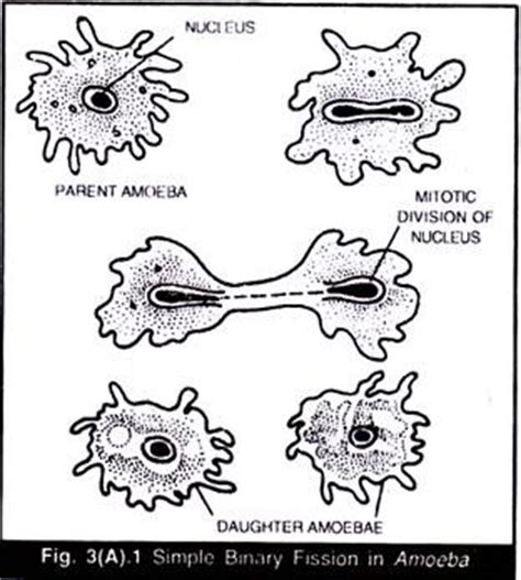 diagram of binary fission in amoeba asexual and sexual reproduction in animals with diagram