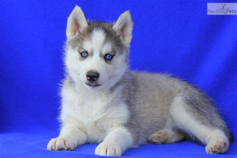 free puppies near me free adoption near me pets world