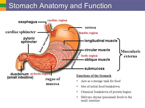 digestive system i organs and structure ppt video - Fundus Of Stomach Function