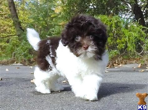 havanese puppies for sale bay area havanese puppy posted by norcalpup