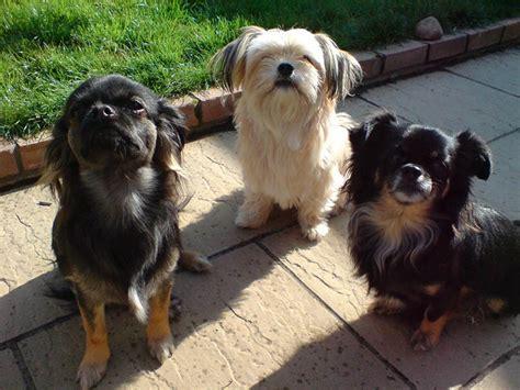 Shih Tzu Chihuahua Mix Shedding by Information About Breed Shichi Chihuahua X Shih Tzu