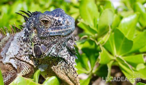 alimentazione iguana iguana un rettile antico comune in centroamerica foto