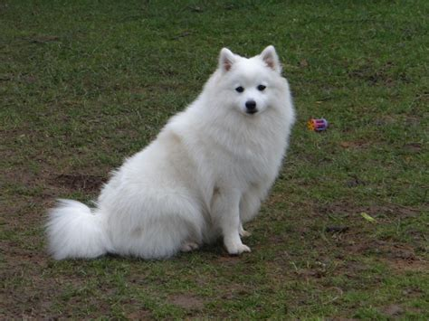 japanese spitz puppies for sale japanese spitz pomeranian cross breed picture breeds picture