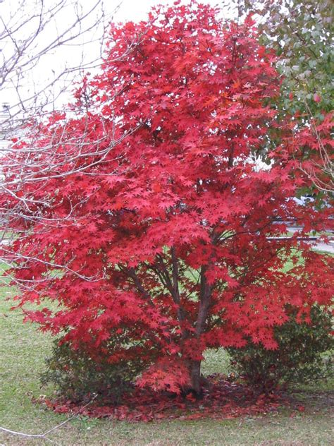 plantfiles pictures japanese maple bloodgood acer palmatum by lakeside3
