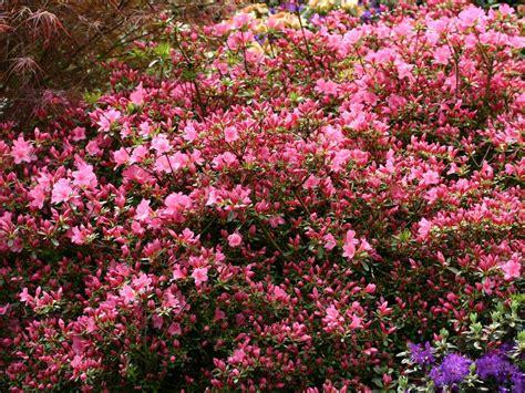 rhododendron hecke japanische azalee madame albert hecke rhododendron