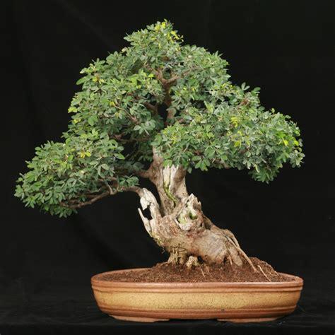 Pupuk Untuk Bunga Bonsai 6 jenis tanaman hias bagus untuk dijadikan bonsai