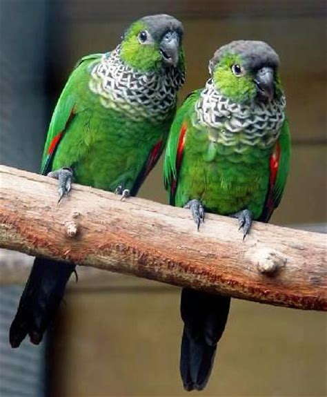 black capped conures birds are the best pinterest