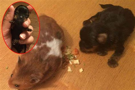 the smallest puppy in the world adorable pint sized puppy dwarfed by a hamster could be the world s smallest
