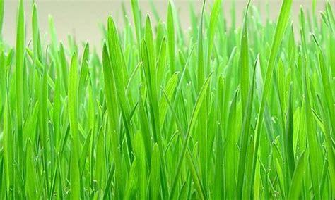 le bl en herbe b00idcfksy pr 233 parer un jus d herbe de bl 233 sans extracteur de jus