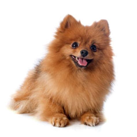 small fluffy dogs small dogs buzzle