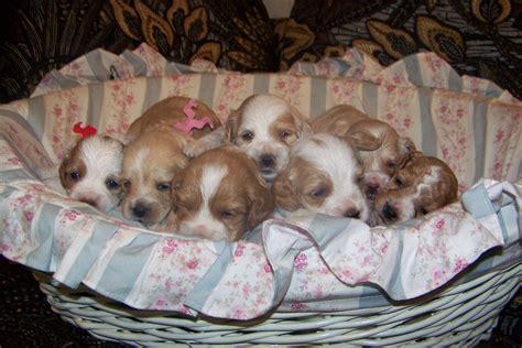 cockapoo puppies nc home cuppycakecockapoos