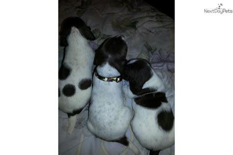 braque francais puppies sale braque francais pointer puppy for sale near birmingham alabama d54dc532 c231