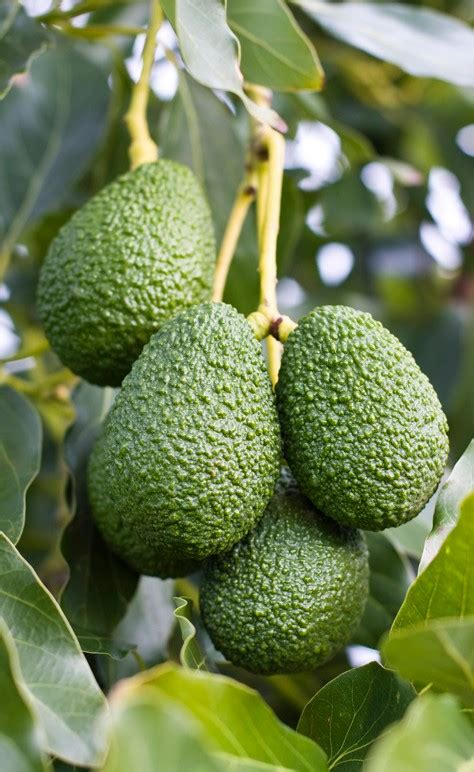tree that smells like oranges avocado florida hass persea americana