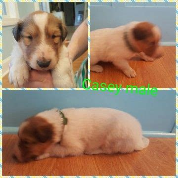 border collie puppies for sale in tn 17 best ideas about collie puppies for sale on border collie puppies
