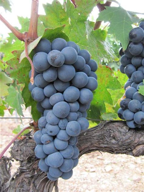 imagenes de uvas tintas 191 cuales son las principales cepas tintas de espa 241 a