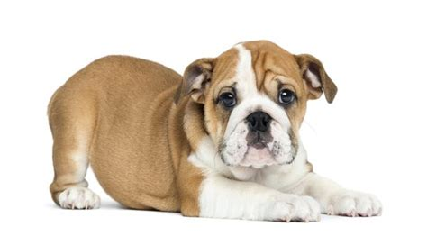 bulldog puppy care facts about bulldog litters care the daily puppy