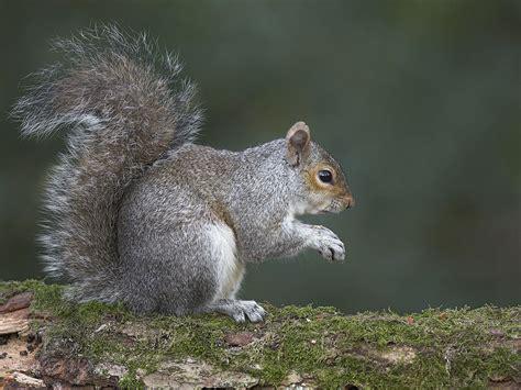 squirrel central grey squirrel bioguard