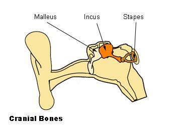 6 Auditory Bones by File Illu Auditory Ossicles Jpg Wikimedia Commons