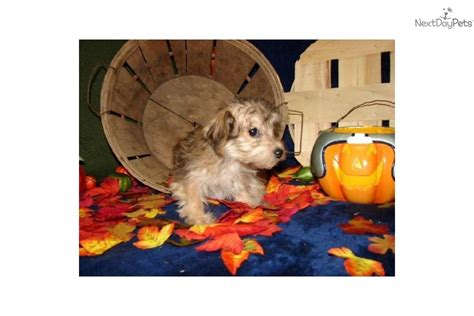 are yorkies born with tails meet cookie s boy a yorkiepoo yorkie poo puppy for sale for 75 yorkiepoo boy