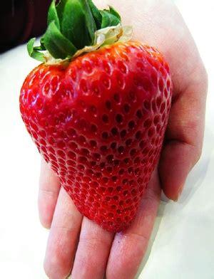 Bibit Strawberry Dijual yusiariani yusi ariani