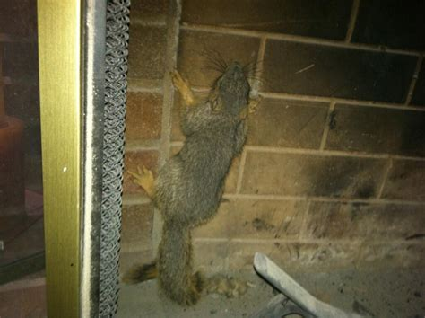 Squirrel Trapped In Fireplace squirrels venture into ventilation systems liddle rascals