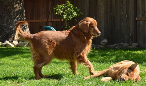 tara foundation golden retrievers puppy up foundation sam duffy