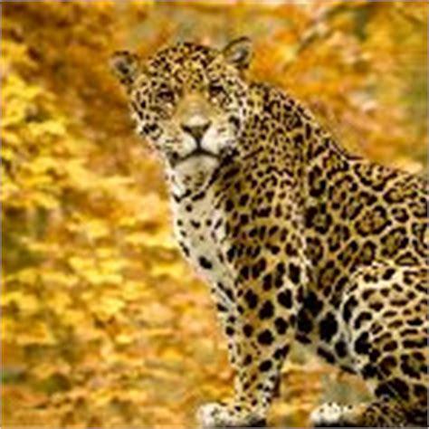 imagenes del jaguar panthera onca im 225 genes del jaguar felinos informaci 243 n y caracter 237 sticas