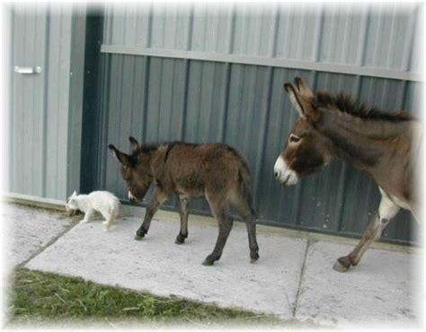 mini donkeys  sale  iowa miniature donkey breeder