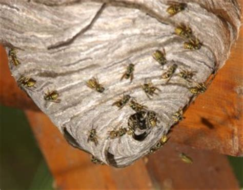 experts  wasp removal north london pest control