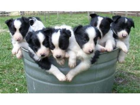 border collie puppies for sale in tn border collie puppies in tennessee