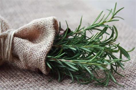 coltivare rosmarino in vaso come coltivare il rosmarino in casa in vaso sul balcone o
