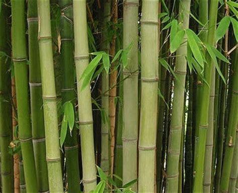 Bambu Air Tanaman Jenis Tanaman Air harga tanaman bambu air tanamanbaru