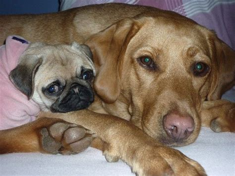pug x labrador pug labrador pugs animal friends