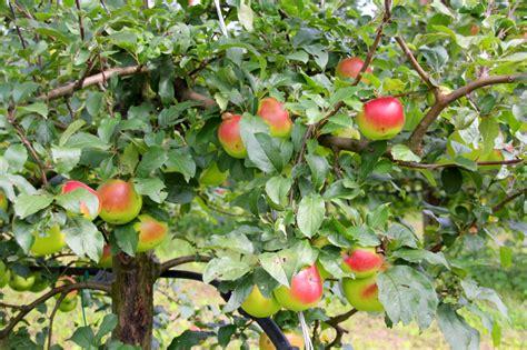 apfelbaum mehrere sorten apfelbaum bestimmen 187 so erkennen sie die sorte