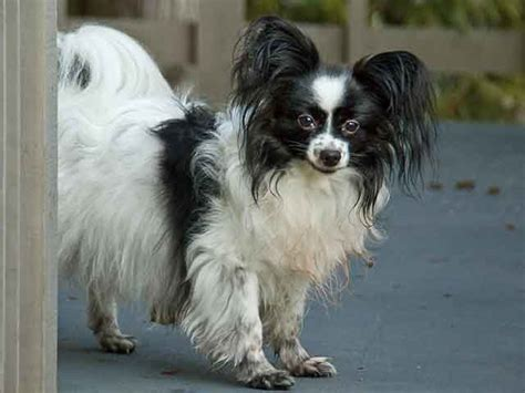 papillon dogs papillon smart and pet petslu