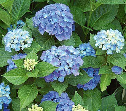 Hydrangea Macrophylla Endless Summer 4457 by Hydrangea Macrophylla Endless Summer 174 White Flower Farm