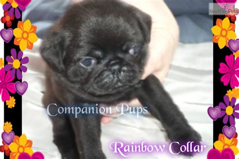 pug puppies for sale in chattanooga tn rainbow pug puppy for sale near chattanooga tennessee 034568a1 ca51
