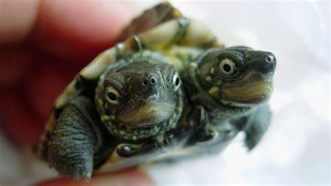 imagenes de tortugas raras 191 salmonelosis por mayonesa no por tortugas