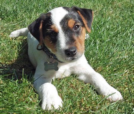 Parson Terrier Shedding by 1000 Ideas About Parson Terriers On