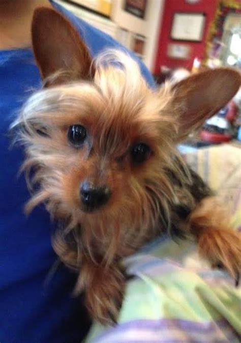 care for yorkie after spaying the yorkie s web page