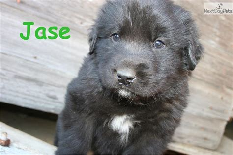 newfoundland puppies for sale near me newfoundland puppy for sale near grand island nebraska 38b255db ca51