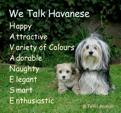 what is a havanese puppy 25 best ideas about havanese grooming on havanese puppies cockapoo