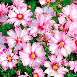 What To Plant In Summer Vegetable Garden - cosmos plants capriola cosmos plants popular flower plants flower plants gardening
