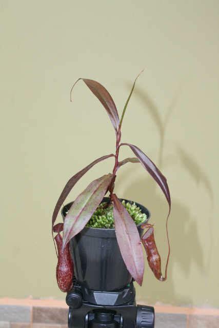 Tanaman Hias Kantong Semarnepenthes Mirabilis Hijau tanaman nepenthes x neglecta bercak bibitbunga
