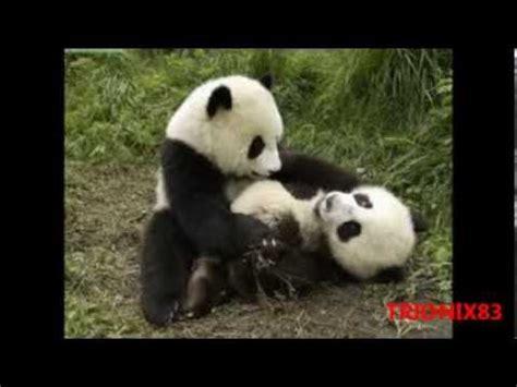 imagenes de osos fuertes imagenes tiernos osos panda bebe cachorros de osos panda
